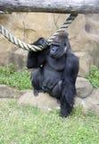 Animal social humanoïde de singe de primauté de gorille Photographie stock