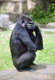 Animal social humanoïde de singe de primauté de gorille Image libre de droits