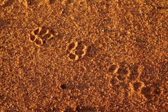 Animal spoor in the sand Stock Photography