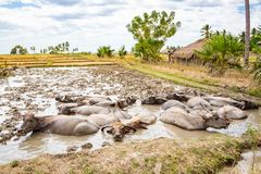 Animal stock in East Timor - Timor-Leste. Herd of cattle, zebu, buffaloes or cows in a field swims in a dirt, mud, hight water. stock photo
