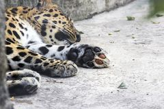 Animal surveillance lulled Amur leopard wandered into the city, Northeast China. Summer 2017 Royalty Free Stock Image