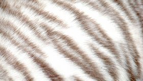 Animal tiger fur Royalty Free Stock Image