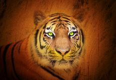 Animal Tiger Stare in the Wild Stock Photography