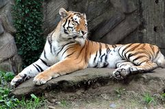 Animal - tigre Image stock