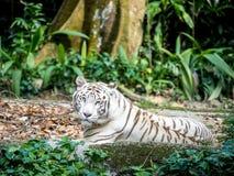 Animal: Tigre blanco Imagenes de archivo