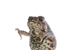 Animal toad Royalty Free Stock Photo