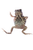 Animal toad frog Royalty Free Stock Photos