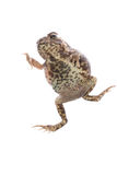 Animal toad frog Royalty Free Stock Photo
