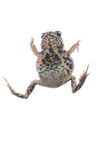 Animal toad frog Royalty Free Stock Photography