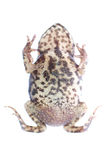 Animal toad frog Royalty Free Stock Images
