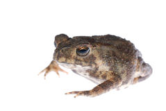 Animal toad frog Stock Images