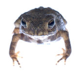 Animal toad frog Stock Photography