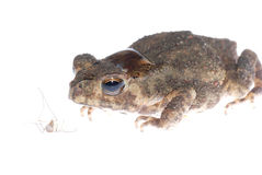 Animal toad look at mosquito bug Royalty Free Stock Photo