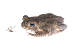 Animal toad look at mosquito bug Stock Photos