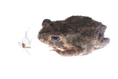 Animal toad look at mosquito bug Stock Photo