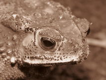 Animal toad skin is rough with tire toxic. Royalty Free Stock Photos