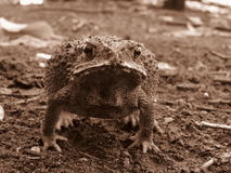 Animal toad skin is rough with tire toxic. Stock Image