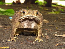 Animal toad skin is rough with tire toxic. Royalty Free Stock Images