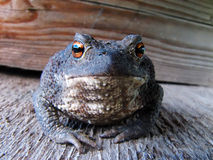 Animal toad vulgaris close up Royalty Free Stock Images