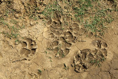 Animal Traces Royalty Free Stock Image