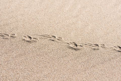 Animal traces in the sand - copy space Stock Image