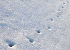 Animal traces in snow. Animal traces in fresh loose snow Royalty Free Stock Image