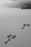 Animal traces in the snow Stock Images