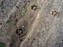 Animal tracking - wolf Stock Images