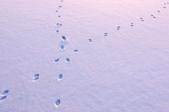 Animal tracks crossing on snow. Animal tracks crossing on the snow-covered ice of a frozen lake Royalty Free Stock Image