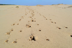 Animal tracks in the desert. A lot of sand and footprints Royalty Free Stock Image