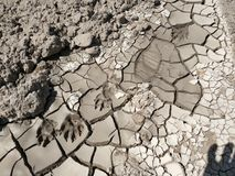 Animal tracks in dried mud Royalty Free Stock Photos