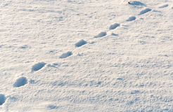 Animal tracks in fresh fallen snow Royalty Free Stock Photo
