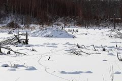 Animal tracks over a beaver pond in winter.  Stock Photos