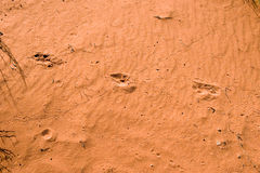 Animal tracks in red sand Royalty Free Stock Photography