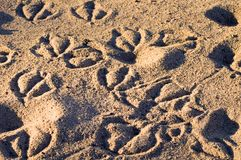 Animal Tracks in the Sand. In an animal and ecological reserve Stock Photography