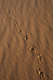 Animal Tracks in Sand,. Coral Pink Sand Dunes State Park, Utah Stock Images