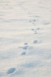 Animal tracks in snow. Tracks of a hare in a snow covered winter field, with shallow depth of field royalty free stock images