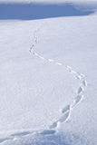 Animal Tracks in the Snow. Animal Tracks in Snow Covered Field Royalty Free Stock Photography