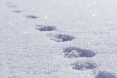 Animal tracks in the snow. Animal footprints on white snow Stock Photos