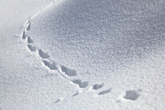 Animal Tracks In The Snow. Animal tracks in the deep snow Stock Photo