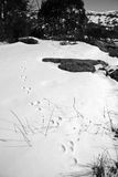 Animal Tracks in the snow with background mountains. Animal tracks in a snow drift heading into the trees on a winters day in black and white in Kosciuszko Royalty Free Stock Photo