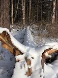 Animal tracks in snow, by fallen tree from the root to the top Stock Photo