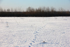 Animal tracks in the snow, going towards the forest Stock Photography