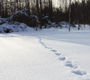 Animal tracks. In the snow leading from the forest Royalty Free Stock Photos
