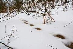 Animal Tracks in Snow in Melted Spring Snow. Spring melting snow concept Royalty Free Stock Images