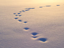 Animal tracks in snow. Natural background royalty free stock photos