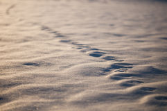 Animal tracks in snow, natural background. Sunset Royalty Free Stock Images