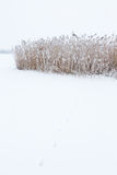Animal Tracks in the snow. At a reedbed Royalty Free Stock Photo