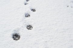 Animal tracks in the snow. Animal tracks in the snow, traces of dogs. Traces of a stray dog in the snow Stock Photos