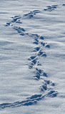Animal tracks in the snow. USA. Alaska. Chilkat River. An excellent illustration Stock Images